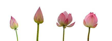 Collection of Isolated pink lotus bud on a white background stock images