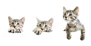 Collection of kittens above white banner Royalty Free Stock Images