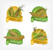 Collection of labels, badges or logotypes with realistic hand drawn cobs of organic corn or corncobs and ribbons vector illustration
