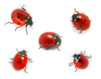 Collection of ladybugs Royalty Free Stock Photography