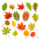Collection leaves. Collection beautiful colorful autumn leaves  on white background Stock Image