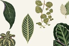 Collection of leaves found in 1825-1890 New and Rare Beautiful-Leaved Plants. Digitally enhanced from our own 1929 edition of th. E publication drawing Royalty Free Stock Photography