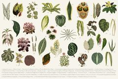 Collection of leaves found in 1825-1890 New and Rare Beautiful-Leaved Plants. Digitally enhanced from our own 1929 edition of th. E publication drawing Stock Photography
