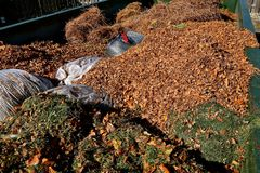 Collection of leaves and grass clippings. Autumn leaves and disposable plastic bags of grass clippings are in a large container  at a collecting station prior to Stock Photo
