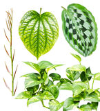 Collection of leaves isolated on white background. Collection of Leaves of tropical plant stock photo