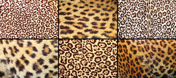 Collection of leopard pelt textures Stock Images