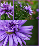 Collection of lilac asters Royalty Free Stock Photography