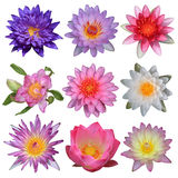 Collection of lotus flower Royalty Free Stock Image