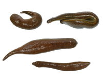 Collection medical leech isolated on white Royalty Free Stock Image