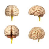 Collection of medically accurate illustration of the brain 3d re Stock Images