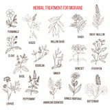 Collection of medicinal herbs for migraines relief. Hand drawn botanical vector illustration Royalty Free Stock Images