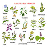 Collection of medicinal herbs for migraines relief. Hand drawn botanical vector illustration Royalty Free Stock Photo