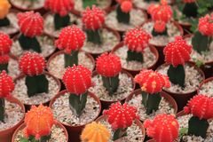 The display collection of miniature cactus plants with red head on small brown pots in minimal style design in the greenhouse. The collection of miniature cactus royalty free stock photo