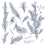 Collection of monochrome drawings of rosemary plants with flowers isolated on white background. Fragrant herb hand drawn Stock Photos