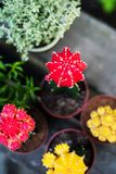 Collection of moon cactuses. Top view of collection of colorful moon cactuses stock photos