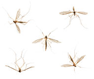 Collection of mosquitos on white Royalty Free Stock Photo