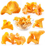 Collection of mushroom chanterelle Royalty Free Stock Image