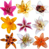 Collection of nine different lily flowers Stock Photos