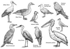 Collection Of Birds Illustration, Drawing, Engraving, Ink, Line Art, Vector Stock Photography