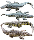Collection Of Freshwater Crocodile Isolated On White Background Royalty Free Stock Images