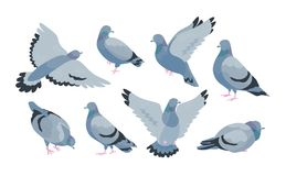 Free Collection Of Grey Feral Pigeon In Various Poses - Sitting, Flying, Walking, Eating. City Or Synanthrope Bird Isolated Royalty Free Stock Photo - 121482235