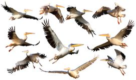 Free Collection Of Pelicans In Flight Stock Image - 33415071