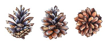 Free Collection Of Realistic Watercolor Illustrations Of The Pine Cones On White Background Royalty Free Stock Images - 130872939