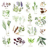 Collection Of Watercolor Hand Drawn Herbs On White Background. Royalty Free Stock Images