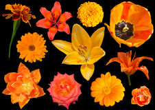 Collection of orang flowers isolated on black background. A collage of isolated orange flowers royalty free stock photo