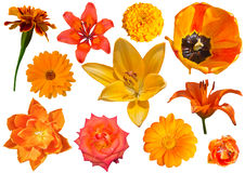 Collection of orang flowers isolated on white background. A collage of isolated orange flowers royalty free stock images