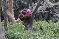 Collection orang utan Stock Photo
