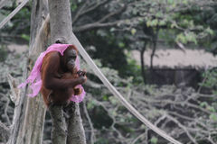 Collection orang utan Stock Photos