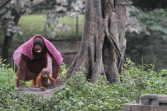 Collection orang utan Royalty Free Stock Photo