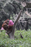 Collection orang utan Royalty Free Stock Image