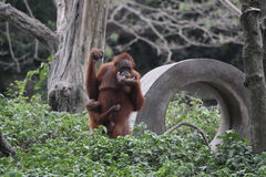 Collection orang utan Royalty Free Stock Photography
