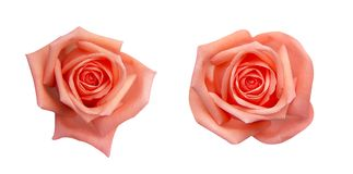 Collection of  orange rose isolated on black background, soft focus and clipping path.  stock photography