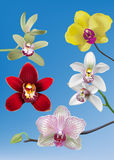 Collection of Orchid Vectors Royalty Free Stock Photo