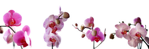Collection of orchids isolated Royalty Free Stock Photos