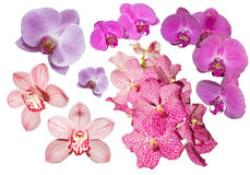 Collection of orchids on white background. Collection of pink, lilac and fuchsia color orchids royalty free stock photo