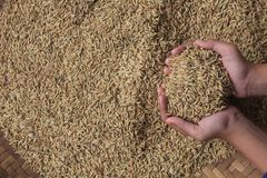 a collection of paddy seeds that turn yellow in the hand royalty free stock photography
