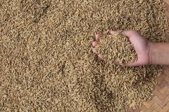 A collection of paddy seeds that turn yellow in the hand stock image