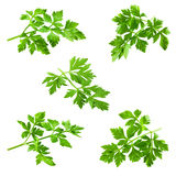 Collection of parsley isolated on white Royalty Free Stock Photos
