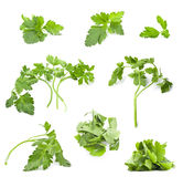 Collection of parsley leaves Royalty Free Stock Image