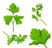 Collection of Parsley Twigs / Macro and SuperMacro Stock Image