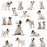 Collection of Parson Russell Terrier puppies