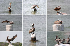 Collection of pelicans. A group of pics.of pelicans taken at the sea shore Stock Image