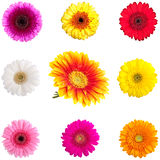 Collection of Perfect Gerber Daisies. Completely isolated on white Royalty Free Stock Photos
