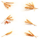 Collection of photos wheat ears and seed isolated Royalty Free Stock Images