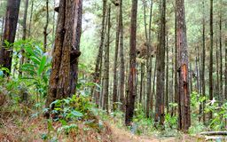Collection of pine trees. Photographed from front view Royalty Free Stock Image