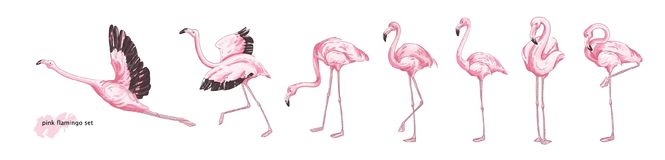 Collection of pink flamingo in various poses isolated on white background. Set of gorgeous exotic bird or tropical avian. In different postures. Colorful hand vector illustration